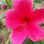 pink hibiscus (hybrid)