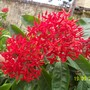 blood red ixora