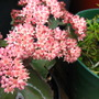 Sedum (Sedum spectabile (Ice plant))