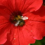 Red Petunia and bee