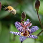 A bee with taste (Tricyrtis formosana (Toad Lily))