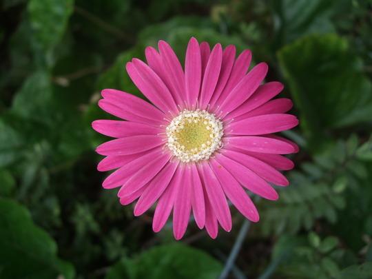 Pink Gerbera (Gerbera)