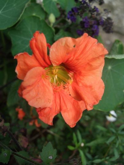 Orange Nasturtium (Nasturtium)