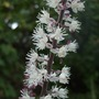Actaea close-up (Actaea simplex 'Brunette')