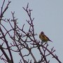 Goldfinches_009