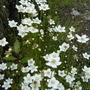Parnassia palustris:  Marsh Grass-of-Parnassus (Parnassia palustris (Grass of Parnassus))