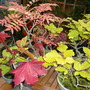Bonsai Autumnal colour