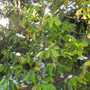 Coffea arabica - Coffee Tree Blooming Again (Coffea arabica - Coffee Tree)