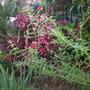 Aloysia citrodora - Lemon Verbena Blooming (Aloysia citrodora - Lemon Verbena)