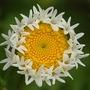 strange daisy