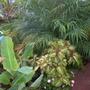 Coleus 'Amour' and Phoenix roebelenii - Pygmy Date Palms