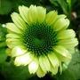 Echinacea_green_jewel