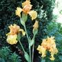 Iris Good Show, branching (Iris Germanica)
