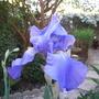Iris Jane Philips (Iris germanica (Orris))