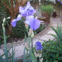 Iris Germ. Jane Philips (Iris germanica (Orris))