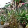 Pennisetum setaceum (African Fountain Grass) rubrum