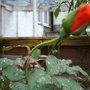 ORANGE ROSE BUD + LEAVES WITH RAINDROPLETS