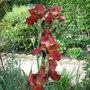 Iris Sultans Palace (Iris germanica (Orris))
