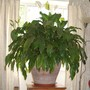 Sues' Peace Lily (for Hywel) (spathiphyllum)