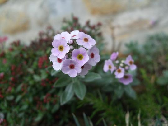 Androsace lanuginosa (Androsace lanuginosa)