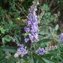 Vitex agnus-castus latifolia (Vitex agnus-castus (Agno Casto))