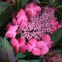 Hydrangea_macrophylla_selina_