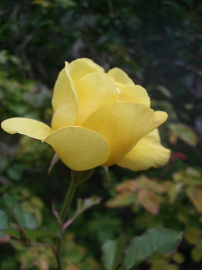 Rosa 'Mountbatten' (Rosa)