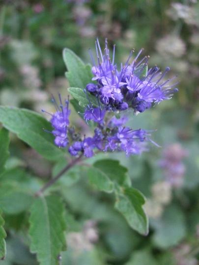 Caryopteris 'Navy Blue' (Caryopteris x clandonensis (Caryopteris))