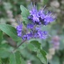 Caryopteris_navy_blue_