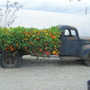 Nasturtium Planter