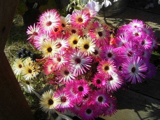 Livingstone Daisies (Mesembryanthemum crystallinum (Buzotu))