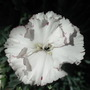 My first carnation :o))))))