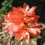 My new Geranium (Pelargonium graveolens (Geranium))