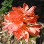 My new Geranium (Pelargonium graveolens (Geranium))