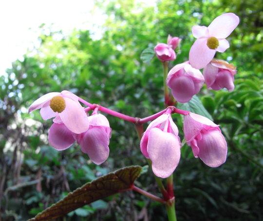 Begonia grandis subsp evansiana - 2010 (Begonia grandis)