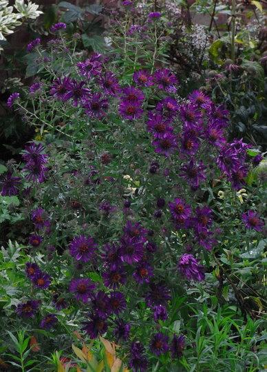 Aster nova-angliae 'Violetta' - 2010 (Aster)