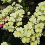 My Lemony Nemesia