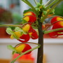 Impatiens niamniamensis.... (Impatiens niamniamensis (Parrot Plant))