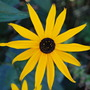 Rudbeckia..... (Rudbeckia fulgida (Black-eyed Susan))
