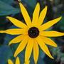 Rudbeckia..... (Rudbeckia fulgida (Black-eyed Susan))