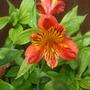 Peruvian lily (Alstroemeria (Peruvian Lily))