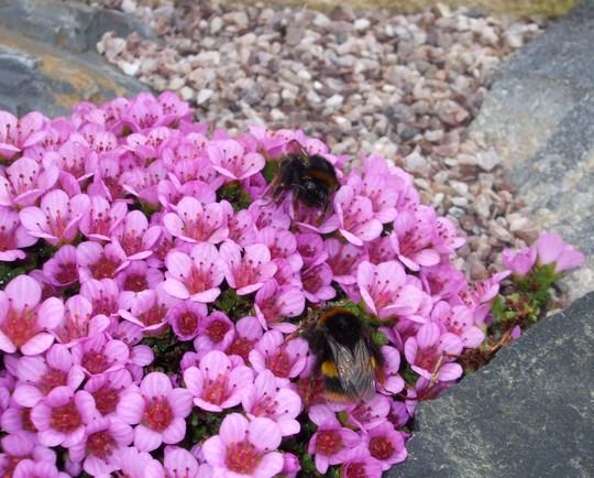 Bees having lunch! (Saxifraga oppositifolia)