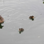 Ducklings swimming around Pavilion