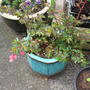 Begonia Fuschioides