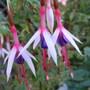Fuchsia Lady Bacon