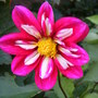 seed sown dahlia from Sean 'C'