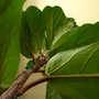 Fiddle leaf ficus (Ficus lyrata)