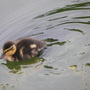 Baby Duckling - Just for Lori