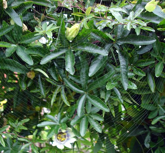 SPIDERS WEB ON PASSION FLOWER