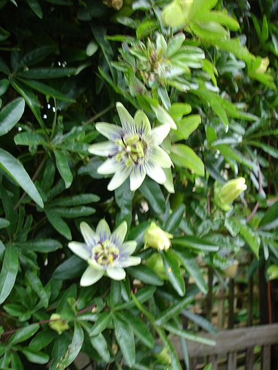 PASSION FLOWERS AND BUDS